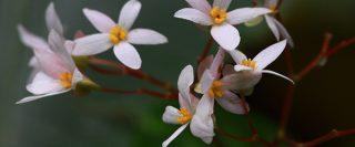 begonia pensilis 320x133 - begonia-pensilis