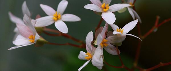 begonia pensilis - Discover Bequia